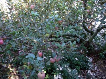 Ogawa_apple01
