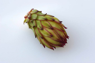 Dragonfruits_bud01