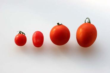Tomato4