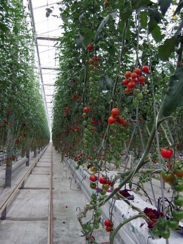 Tomato_field03