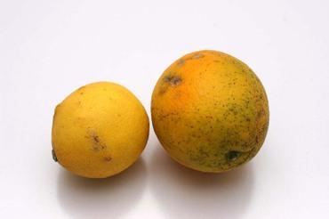 Kataura_citrus01