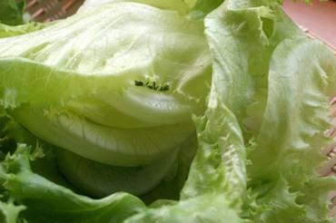 Lettuce_03